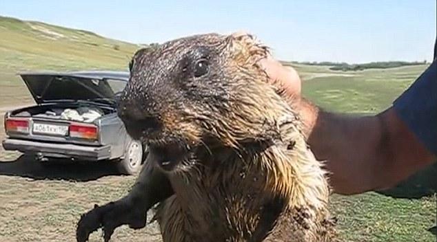 فيديو | حيوان المرموط صوته كصوت صراخ النساء