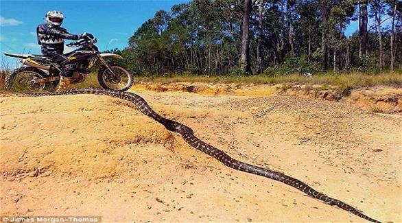 ثعبان يتجاوز طوله الثلاثة امتار يظهر في أحد شواطئ أستراليا