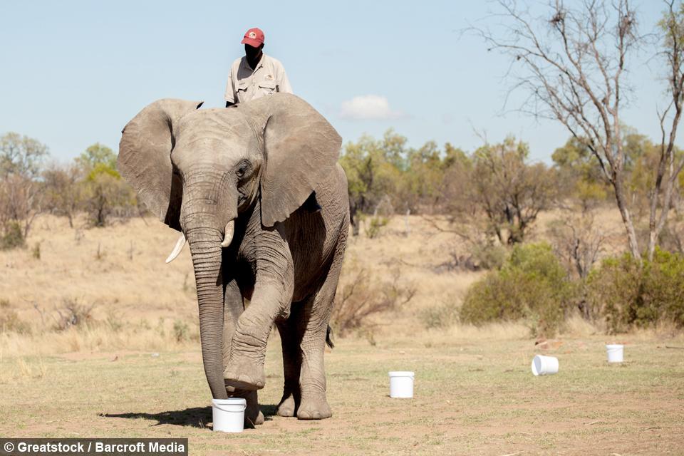 فيديو | الفيلة تشارك الشركات العملاقة لكشف المتفجرات الأرضية