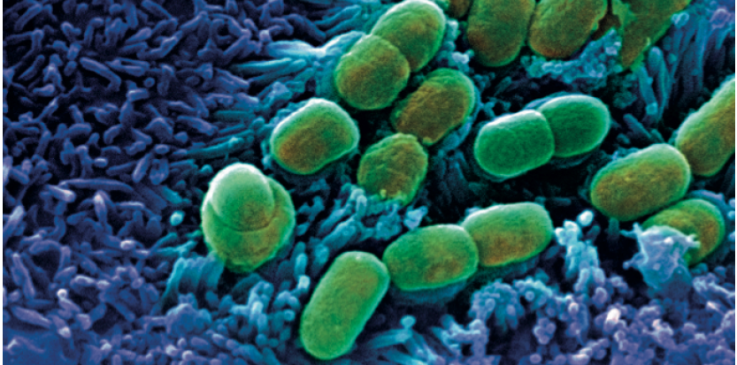 بكتيريا الأمعاء تساعد على امتصاص الحديد