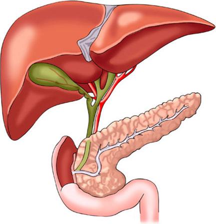 الكبد وآلية عملة في الجسم وكيفية الحفاظ عليه