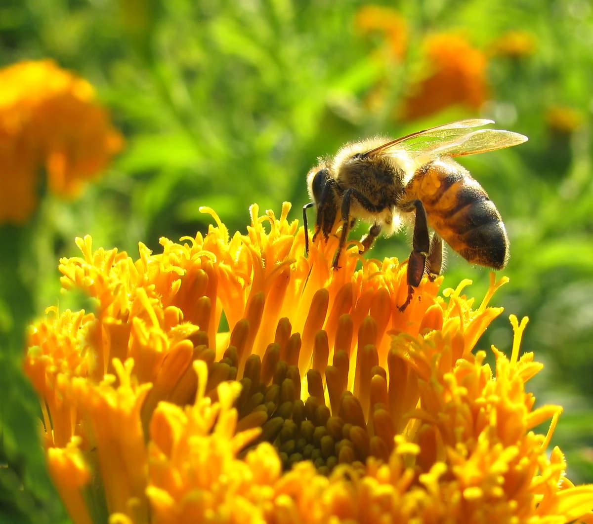 العلاج بالنحل : دراسة الأمراض التي تداويها النحلة